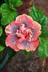 I love the colours that mark this Hibiscus flower in my Mom's garden :)